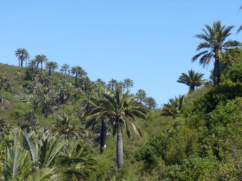 La Jubaea chilensis vive en las montañas