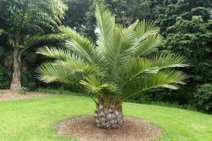 La Jubaea chilensis es una palmera de lento crecimiento