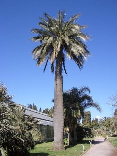 La Jubaea chilensis puede superar los diez metros de altura