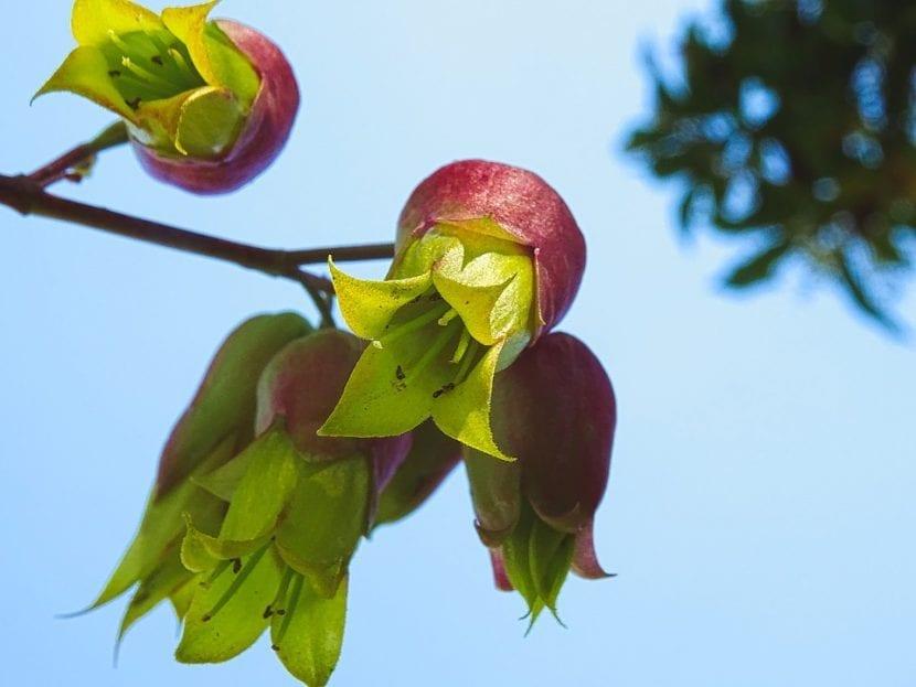Las flores del Kalanchoe pinnata son verdosas