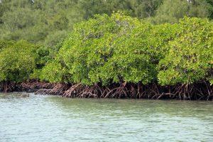 El manglar es un árbol de mar