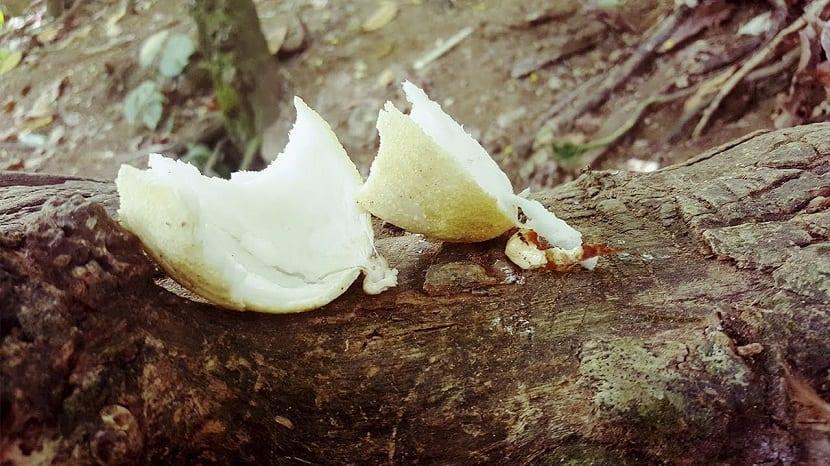 manzana del coco troceada encima de un arbol