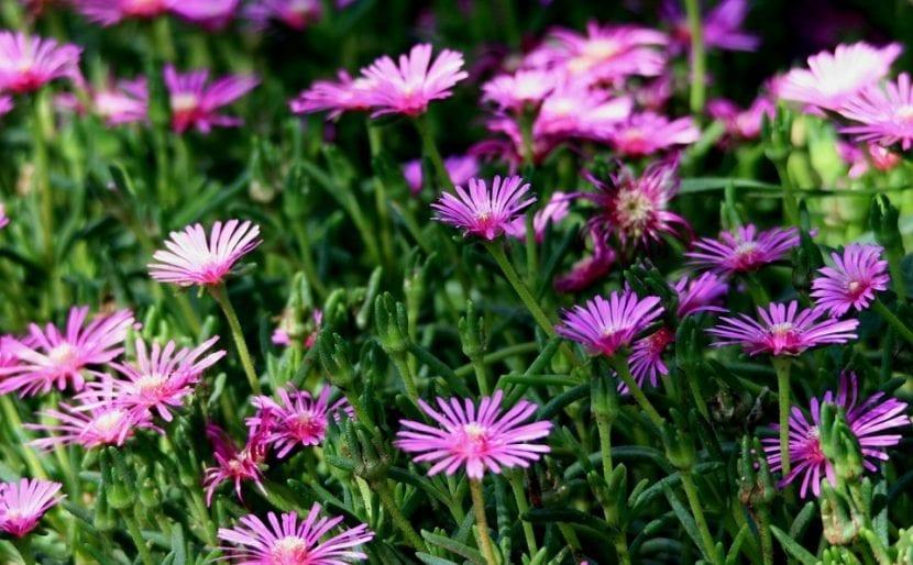 Flores de mesem