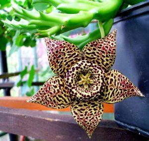 Vista de la Orbea variegata en flor