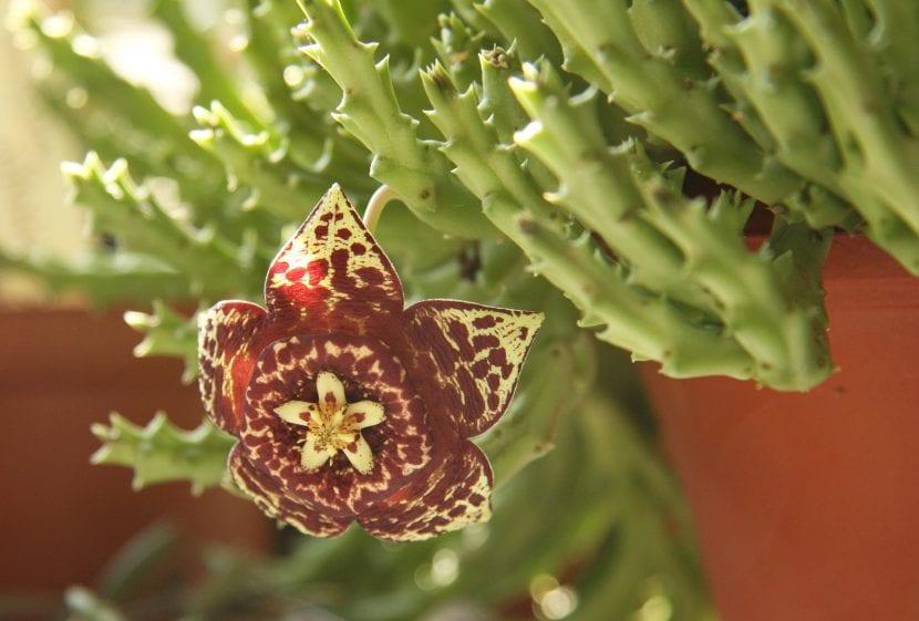 Planta de Orbea variegata