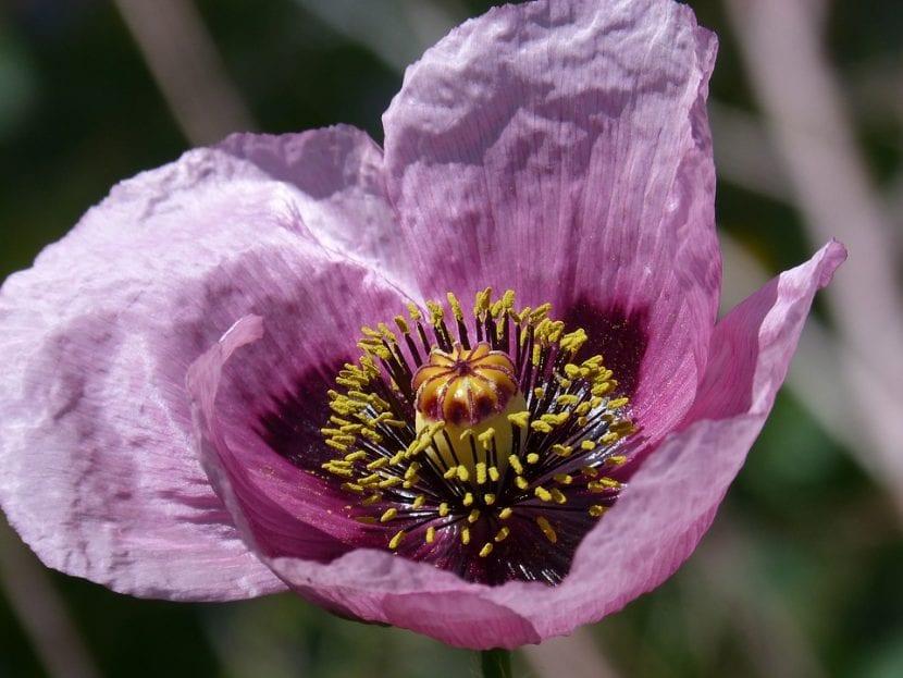 Flor de amapola real