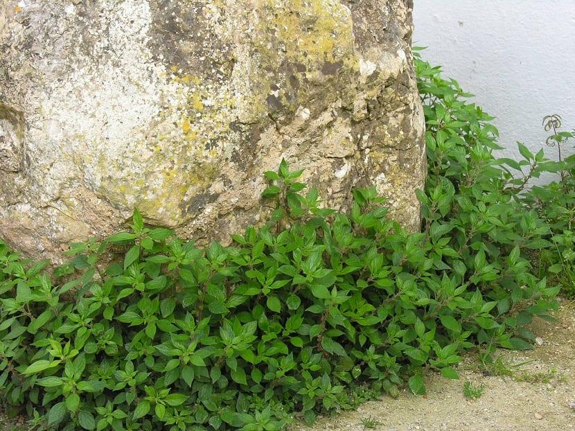 parietaria en paredes viejas
