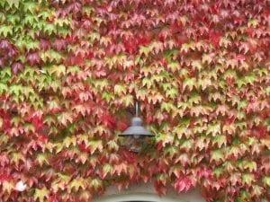 La parra virgen en otoño se vuelve de un rojo espectacular