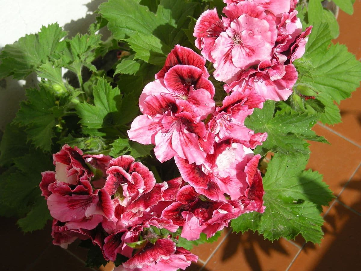 El Pelargonium grandiflorum es una planta herbácea