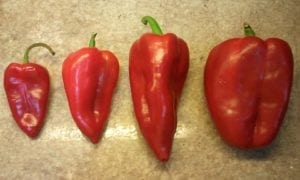 pimiento najerano rojo de varios tamaños