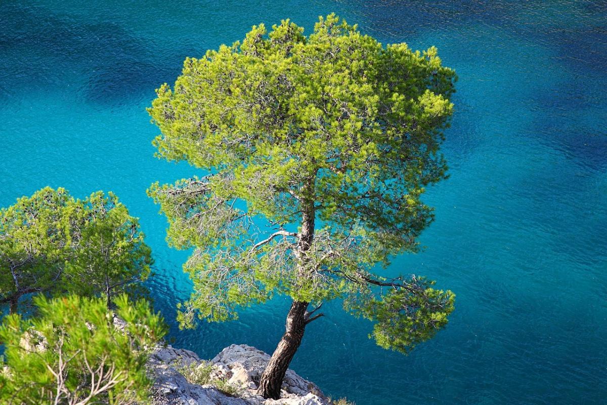 El pino carrasco es una conífera propia de las playas