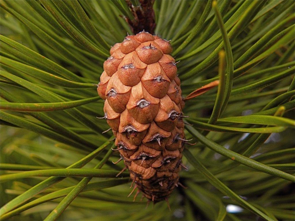 Piña del Pinus contorta