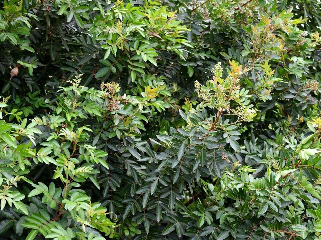 Las hojas de la Pistacia atlantica son perennes