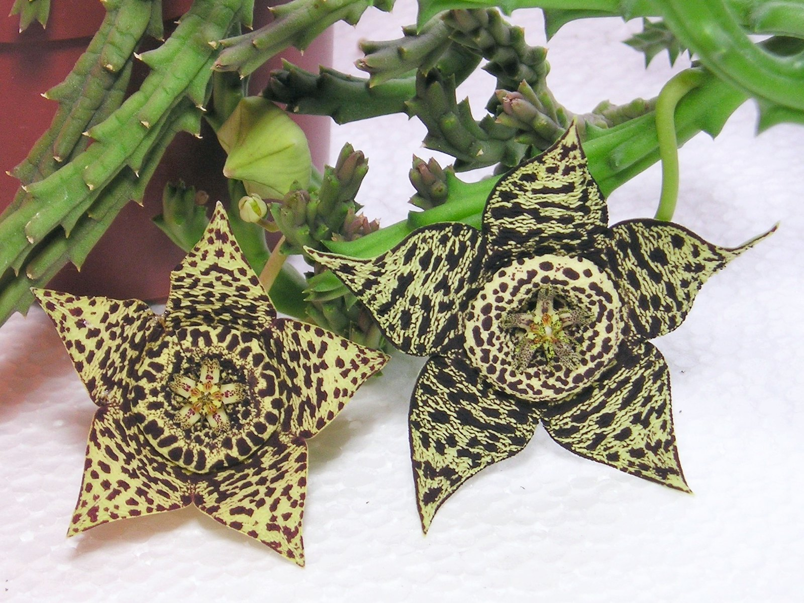 La Orbea variegata se multiplica por semillas