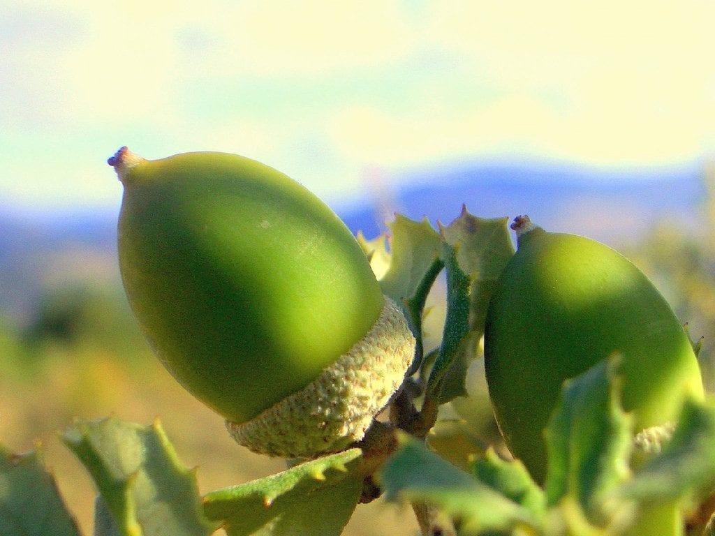 Bellota de Quercus ilex subsp Rotundifolia