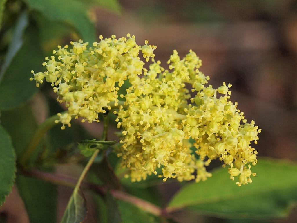 Flores de Sambucus racemosa