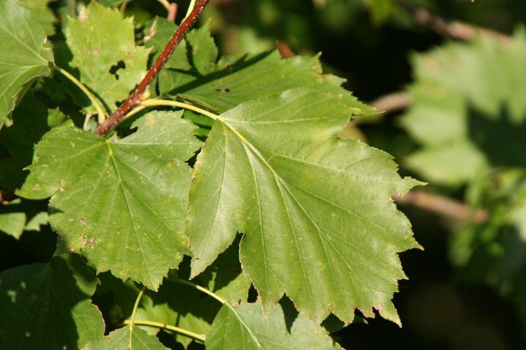 Las hojas del Sorbus torminalis son caducas