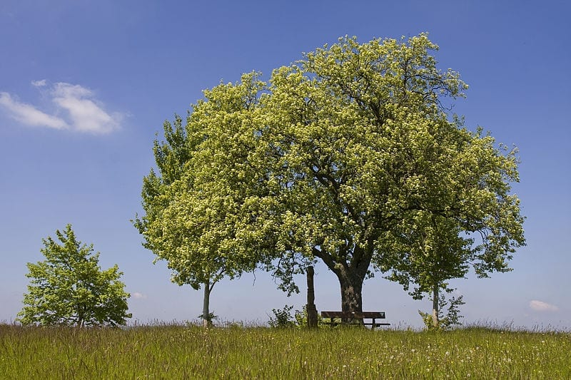 El Sorbus torminalis es un árbol muy bonito