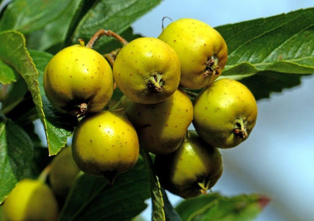 Fruto de Tejocote