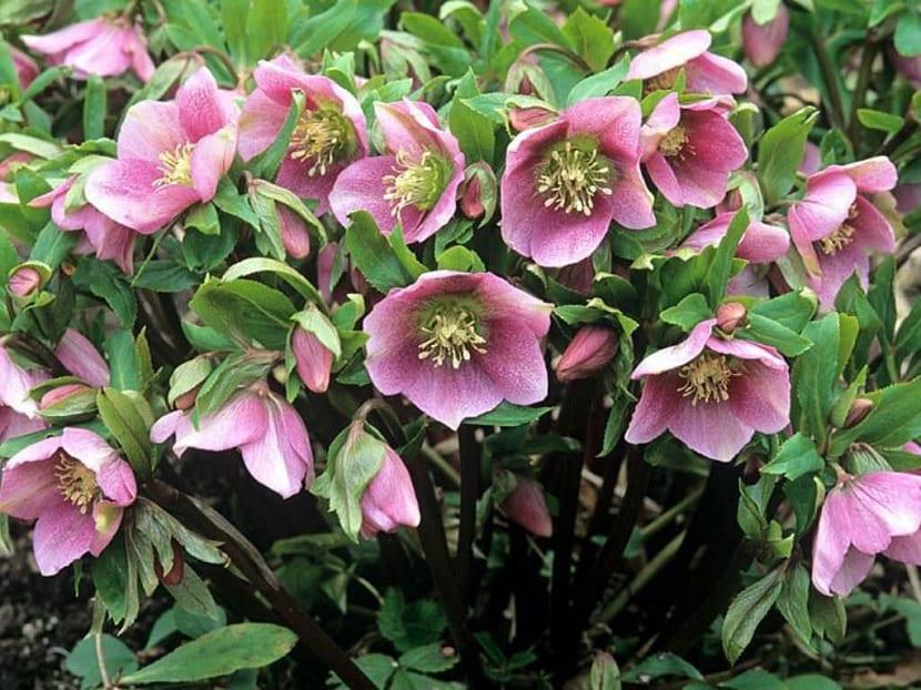 variedad de eléboro rosa