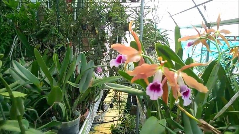 vivero con una planta de Laelia tenebrosa y otras plantas diferentes