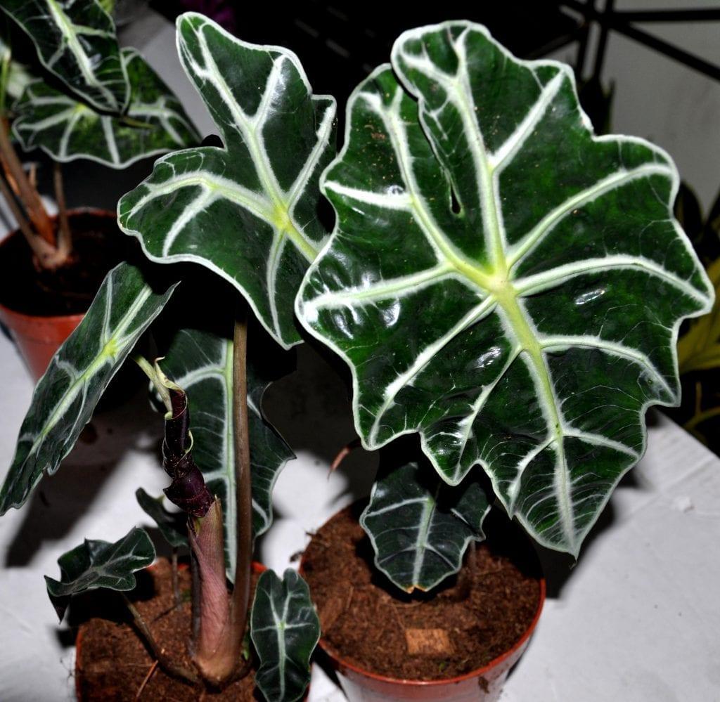 Planta de Alocasia amazonica