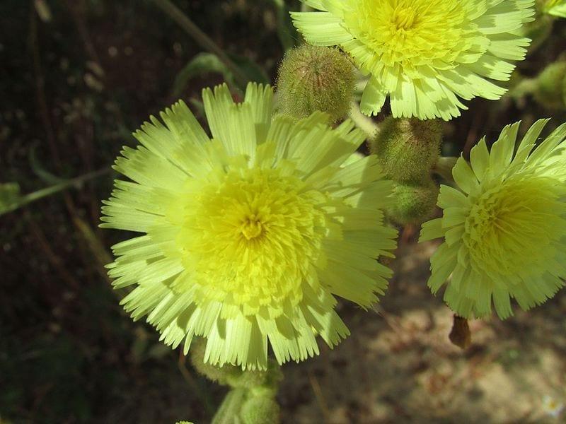 La Andryala integrifolia produce flores muy bonitas