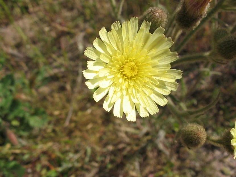 La flor de la Andryala integrifolia es amarilla