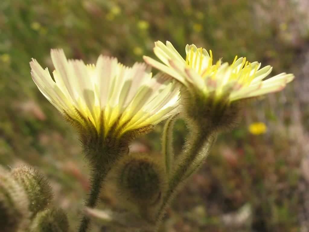 La Andryala integrifolia es una planta muy ornamental
