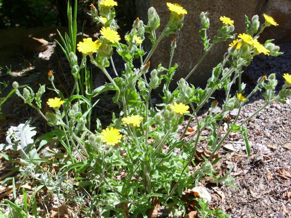 La Andryala integrifolia es una planta herbácea fácil de cuidar