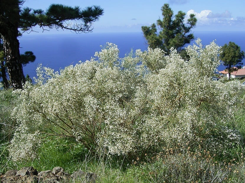 Arbusto de Retama raetam grande con pequeñas flores blancas