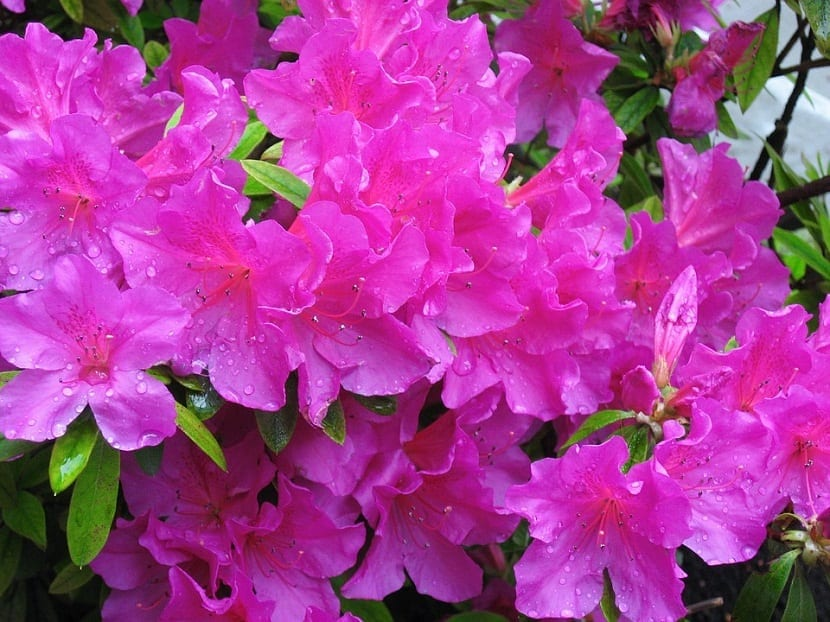 Azalea japónica de color rosa con gotas de lluvia en sus petalos