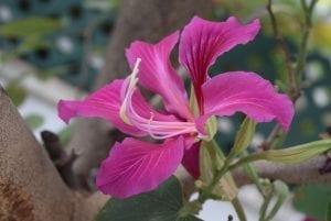 Bauhinia purpurea en flor