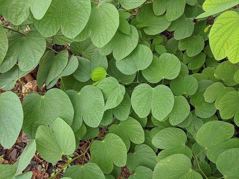 Hojas de la Bauhinia purpurea