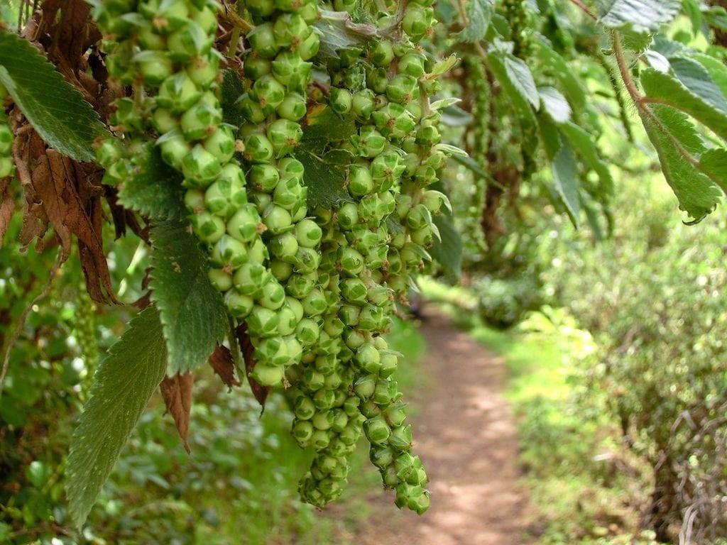Bencomia caudata un arbolito ideal para jardines peque os for Arbolitos para jardines pequenos