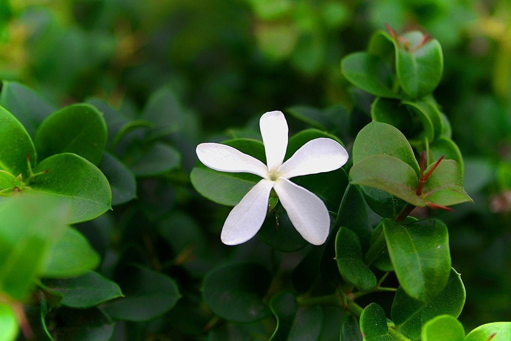 Las flores de la Carissa macrocarpa son blancas