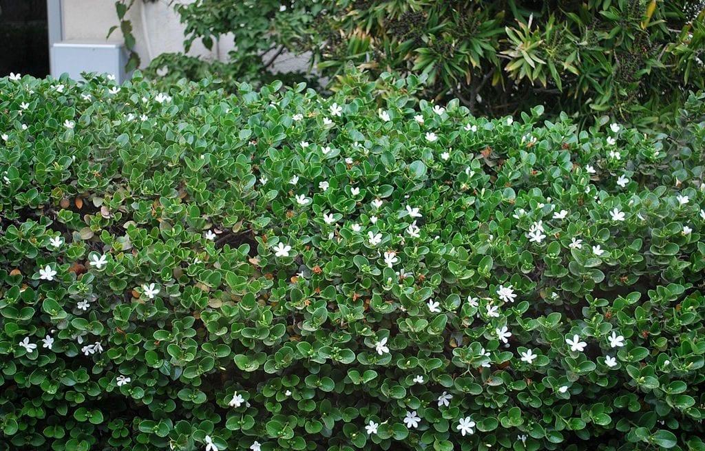 La Carissa macrocarpa es una planta ideal para setos