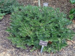Cephalotaxus harringtonia var koreana
