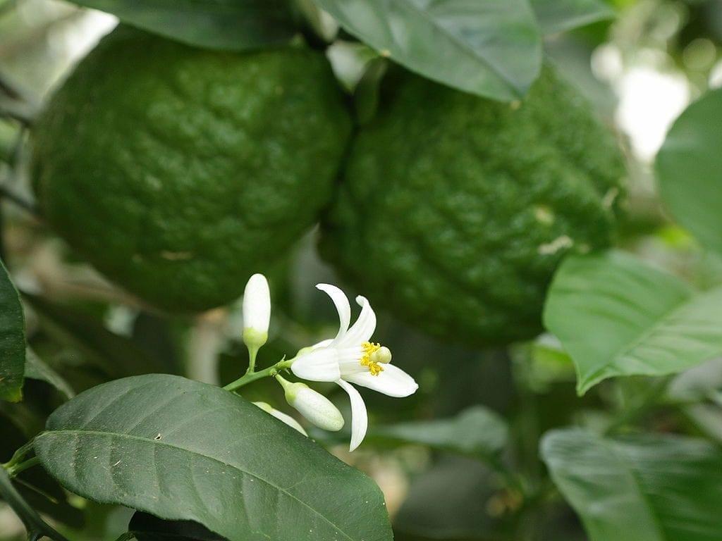 Flor de Citrus medica