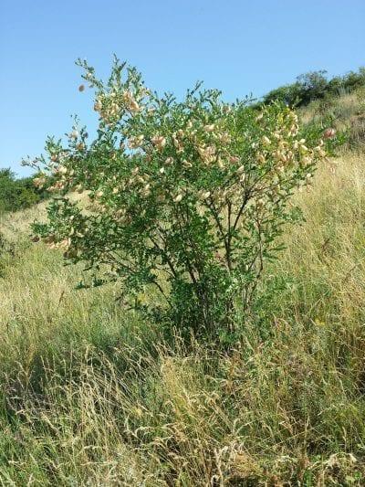 Colutea arborescens en hábitat