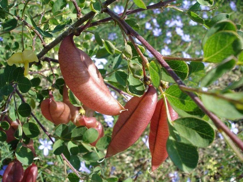 Legumbres de la Colutea arborescens