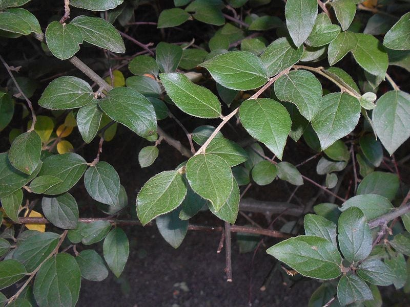 Las hojas del Cotoneaster franchetii son verdes