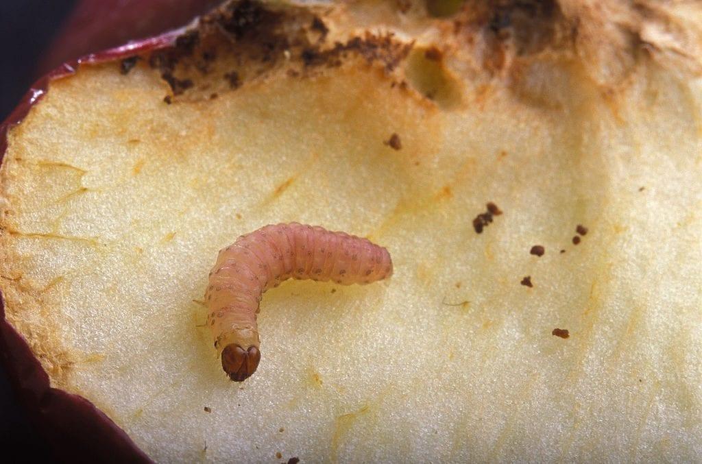 Larva de polilla del manzano