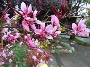 Las flores de la Gaura lindheimeri