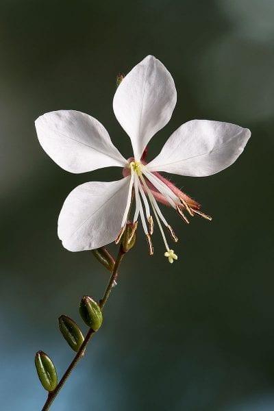 La Gaura lindheimeri produce flores gran parte del año