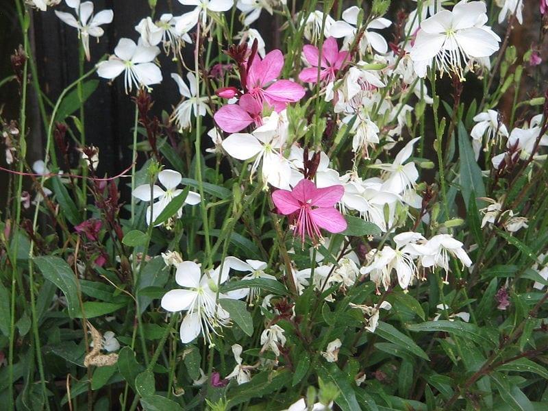 Las flores de la Gaura lindheimeri pueden ser blancas o rosas