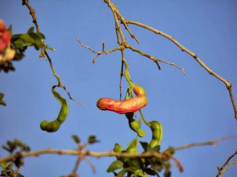 Guamuchil fruto rojo