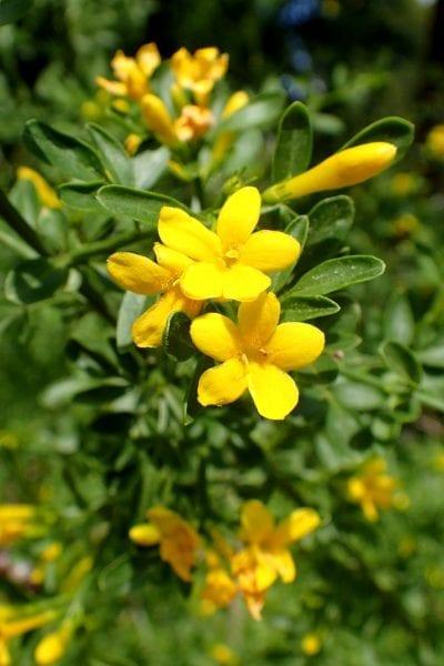 Las flores del jasminum fruticans son amarillas