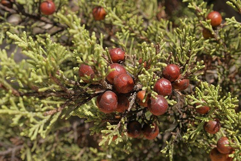 Los frutos del Juniperus phoenicea son rojos