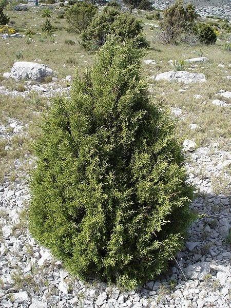 El Juniperus phoenicea es una conífera muy resistente